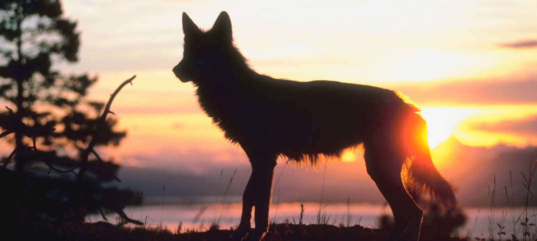 18 Big Pros And Cons of Wolf Reintroduction