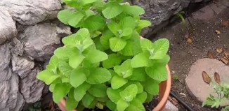 7 Advantages and Disadvantages of Mint Leaves